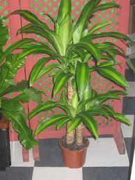 Plantas de interior resistentes plantas de for Plantas de interior muy duraderas