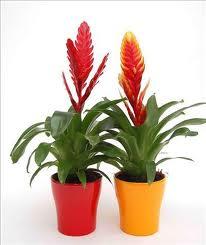 Plantas de interior con flor plantas de interiorplantas Plantas tropicales interior